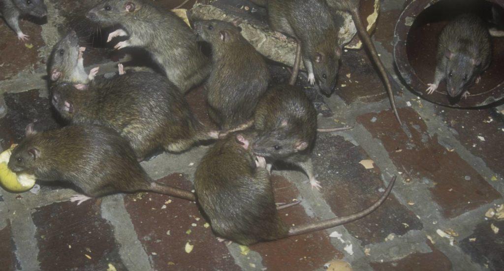 уничтожение крыс в Нижнем Новгороде